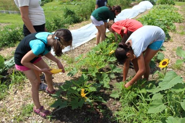 Harvesting summer squash @ WFCF
