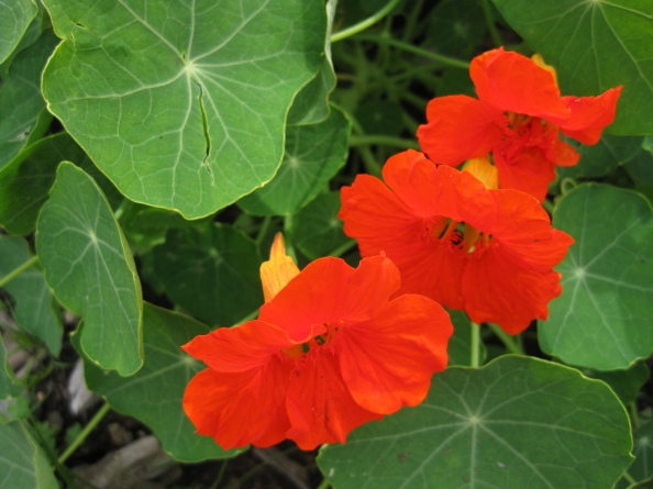 Peppery yet delicate nasturtiums (2011)