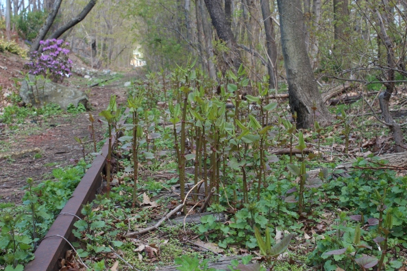 Japanese knotweed patch in April in MA (2013)