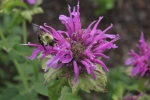 Bee on bee balm