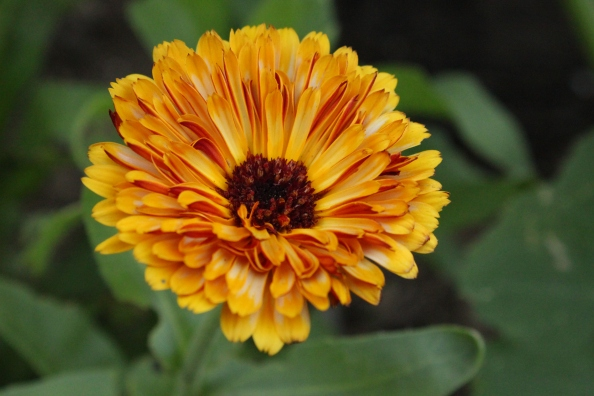 Calendula in the Learning Garden