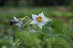 Potato flowers and bee