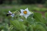 Potato flowers and bee