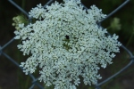 Queen Anne's lace at dusk