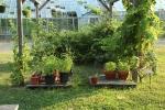 Learning Garden mini container garden, black raspberries, grape vines