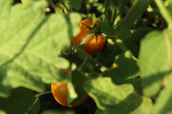 The first of the sungold cherry tomatoes!