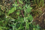 Lambs' quarter: a nutritious weed often used like spinach!