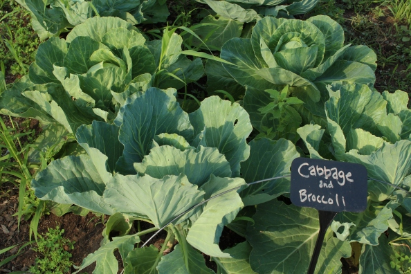 Green cabbages