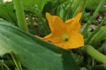 Summer squash blossom