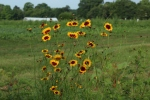 Beautiful dyer's coreopsis