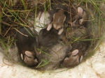 Baby bunnies I found nested in the LG last summer