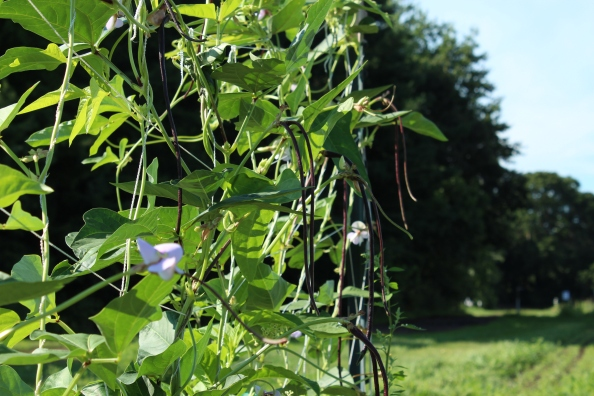 Yardlong or Chinese Long beans in the Learning Garden