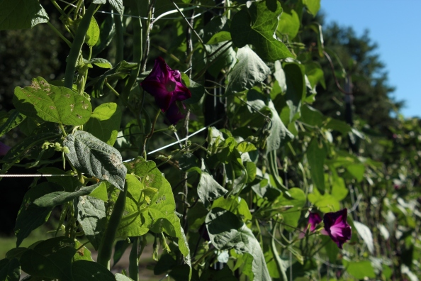 Morning glories and Kentucky Wonder beans in the LG