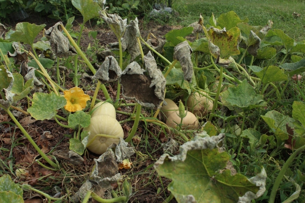 Waltham butternut squash on the vine