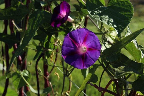 Trellising yardlong beans and morning glories in the Learning Garden