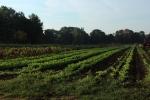 Farmer rainbow chard and arugula