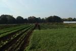 Tractor in arugula field