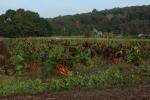 Farmer rainbow chard