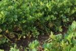 Farmer celeriac or celery root