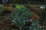 Broccoli and Napa cabbage in the LG