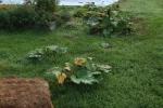 Rhubarb in the LG