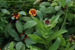 Marigolds and calendula in the LG