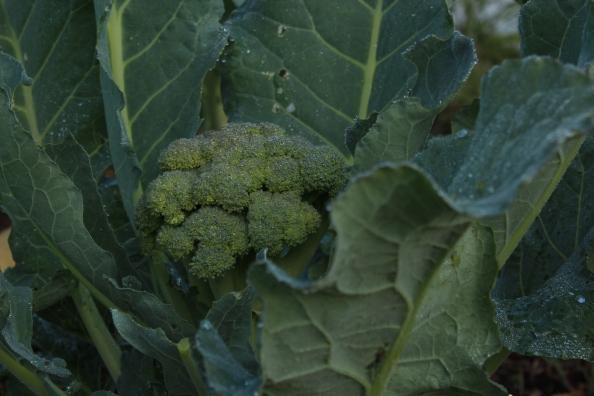 LG broccoli