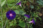 Morning glories in the LG
