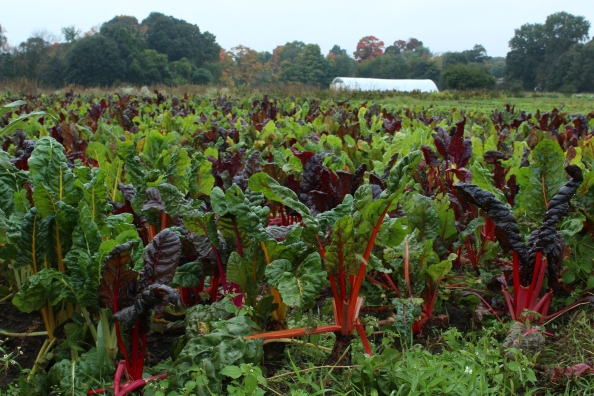 Farmer Swiss chard days before the frost