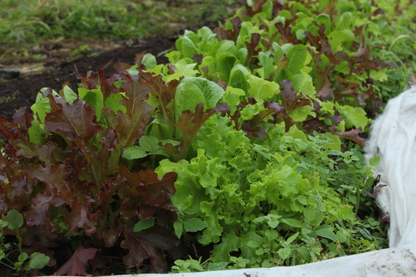 Gourmet baby lettuces in the LG
