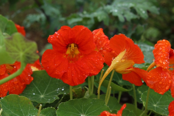 Nasturtiums in the LG