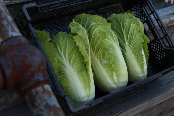 Napa cabbage from the LG