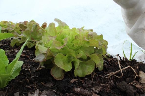 Blushed butterhead lettuce