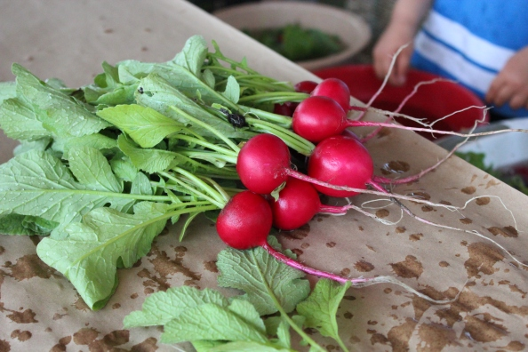 Just-picked and washed radishes from the Learning Garden @ Waltham Fields (2012)