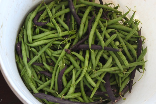 Just-picked green beans from the LG (2012)