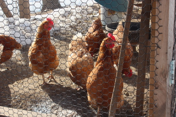 Red hens at Wright-Locke Farm