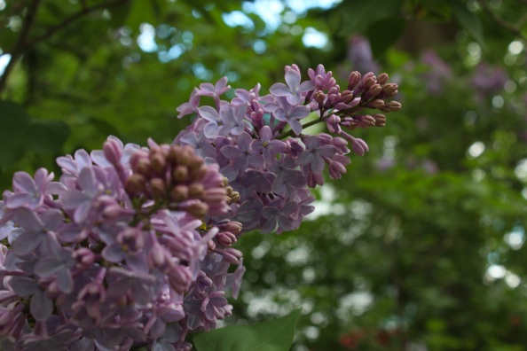 Lilacs in May @ Wright-Locke Farm